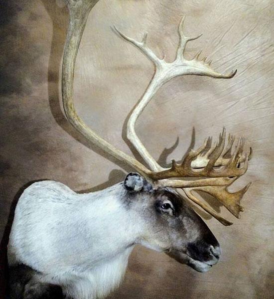Taxidermy Caribou